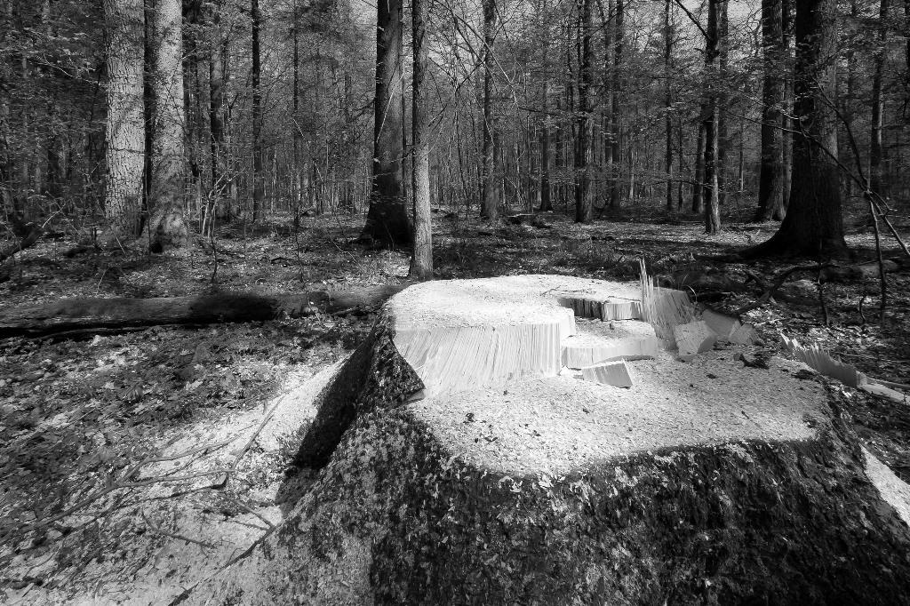 Zdjęcie lasu. Na pierwszym planie ścięte drzewo