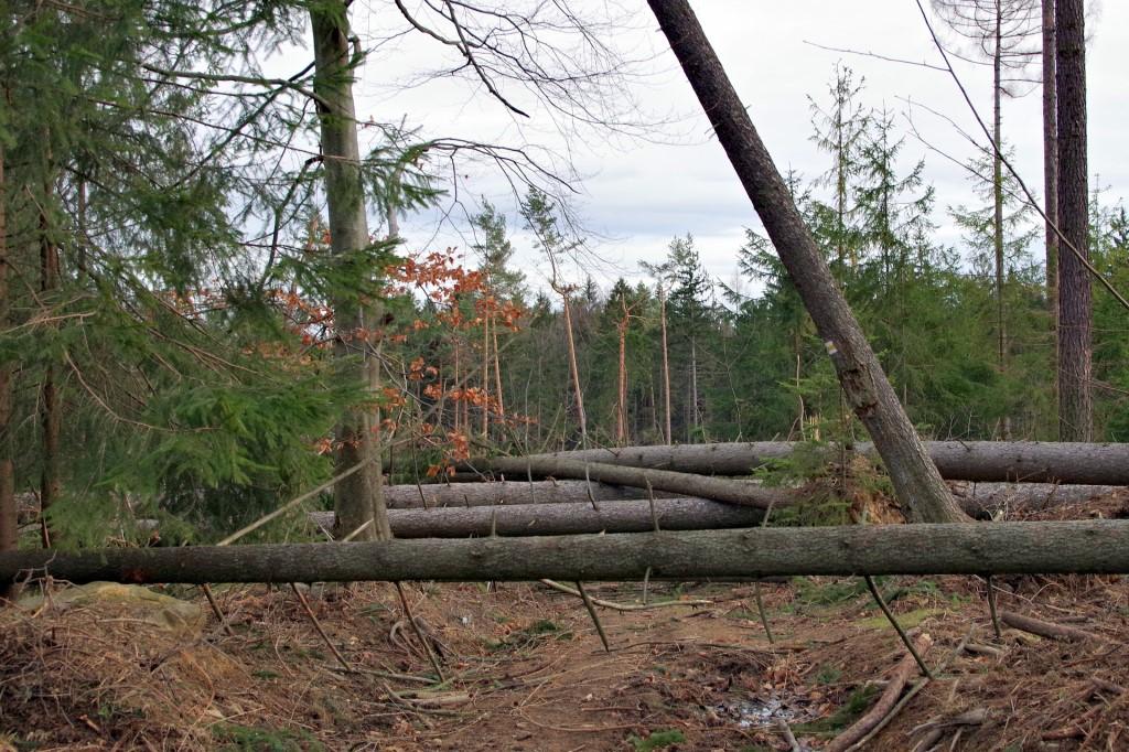 Ścięte drzewa w lesie