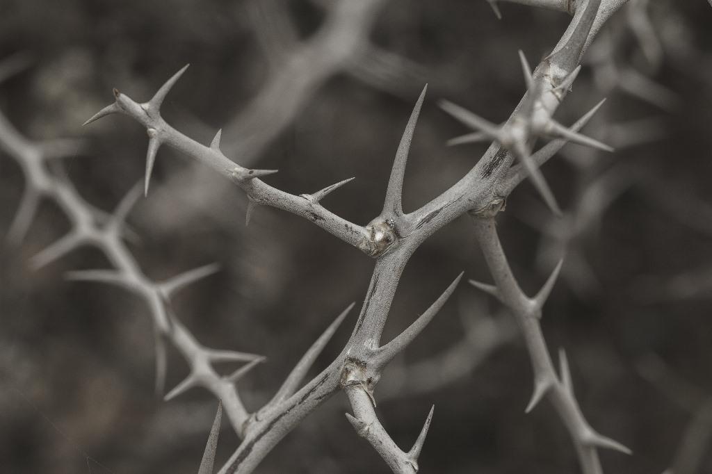 Zdjecie cierniowego krzewu