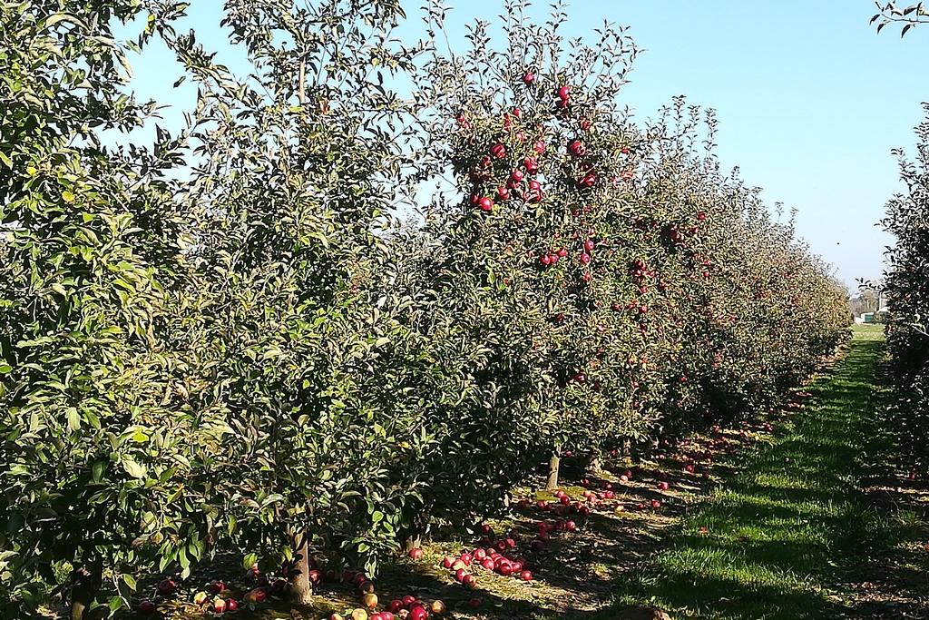 Jabłka na drzewie i leżące na ziemi