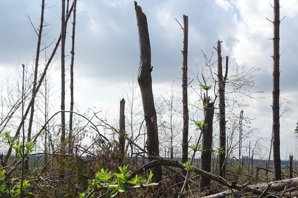 Powalony przew wichurę las, młode liście