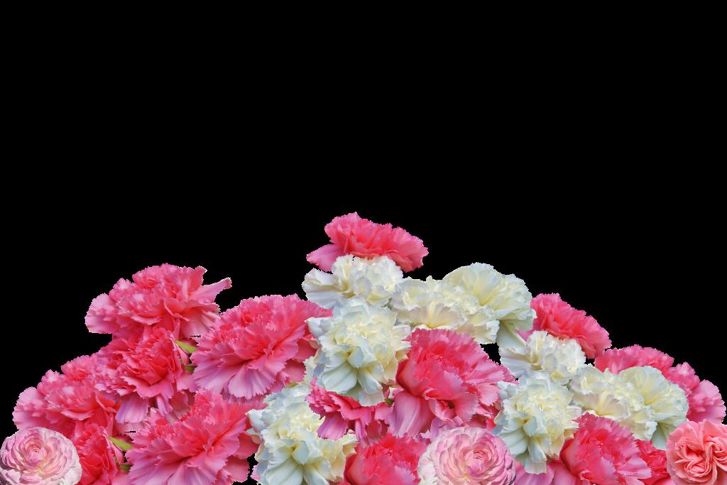Bukiet różowych i białych goździków