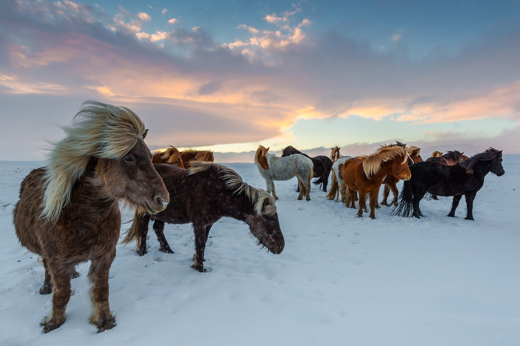 konie na Islandii