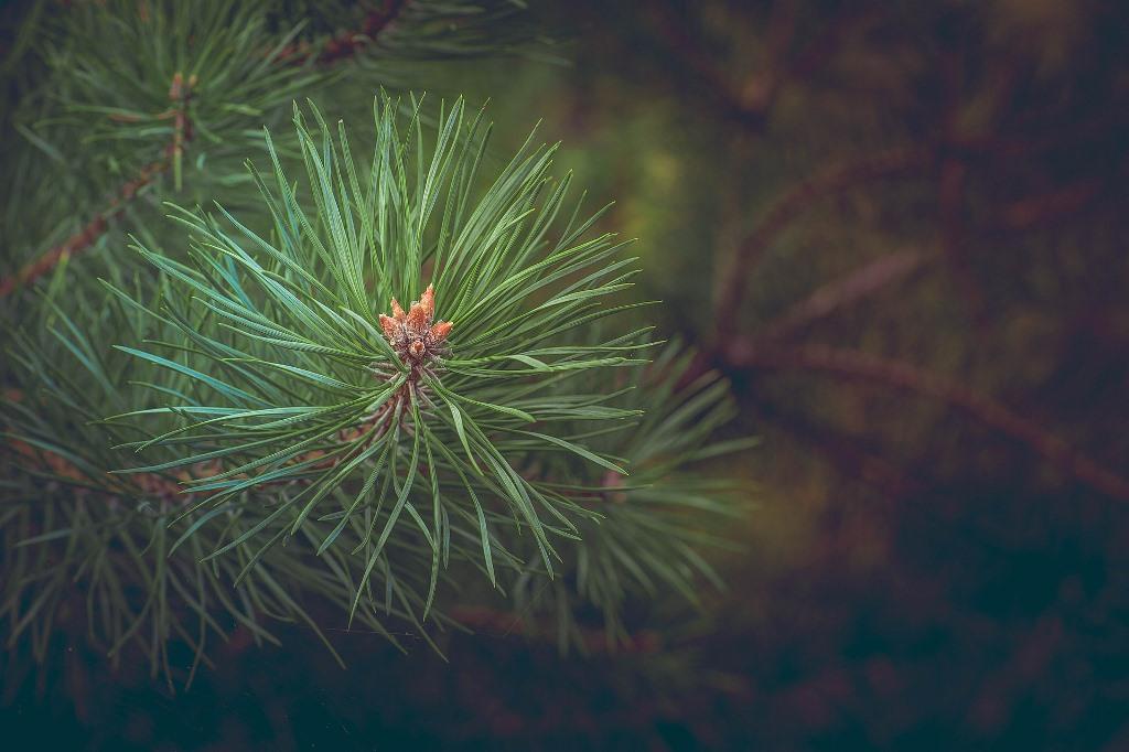 Sosna w lesie