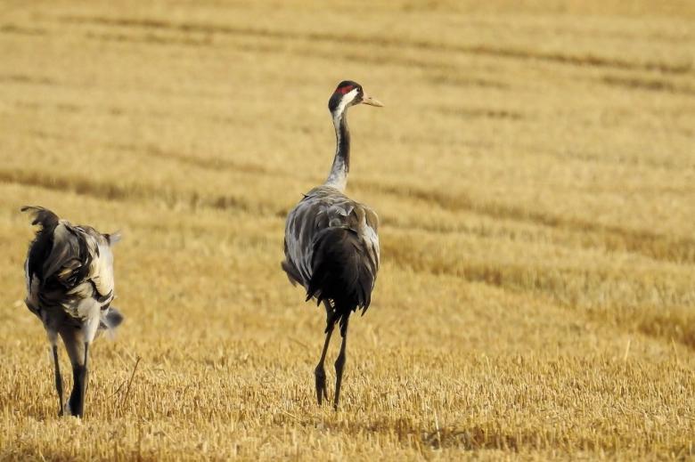 Dwa duże ptaki na ściernisku