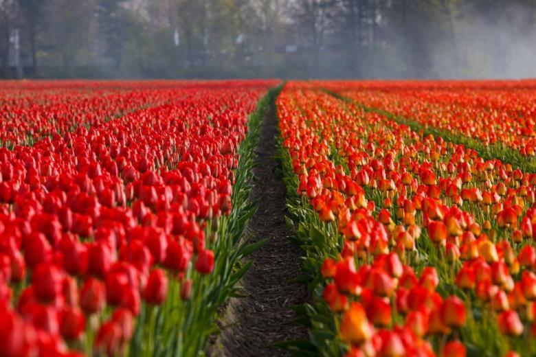 Pole czerwonych tulipanów