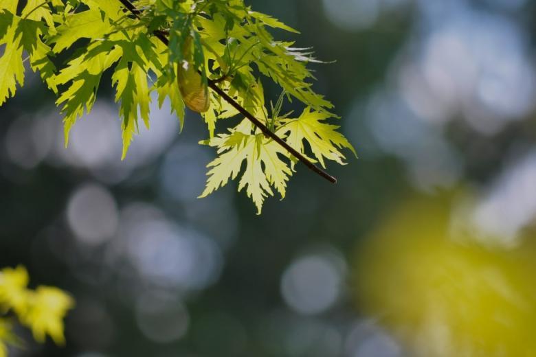 Drzewo o zielonych poszarpanych liściach