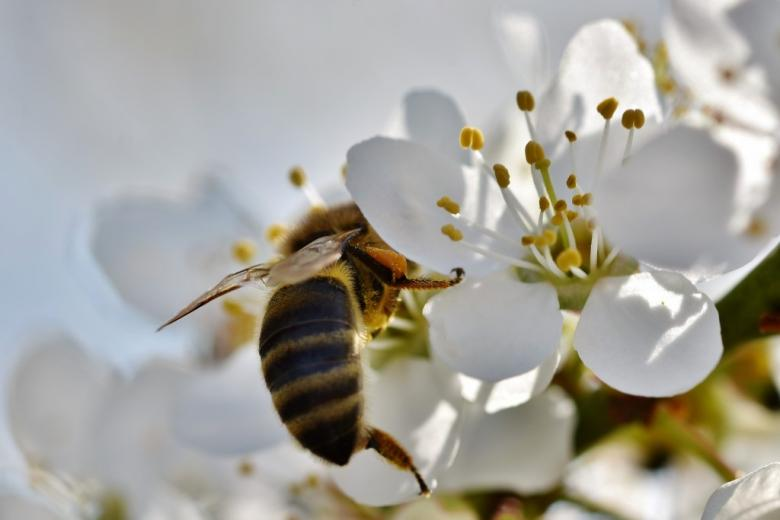 Pszczoła zapylająca kwiat jabłoni