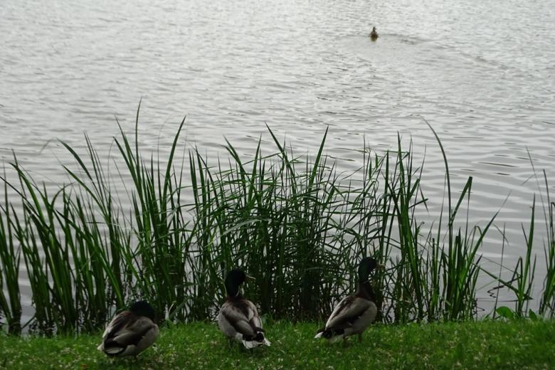 Kaczki nad jeziorem