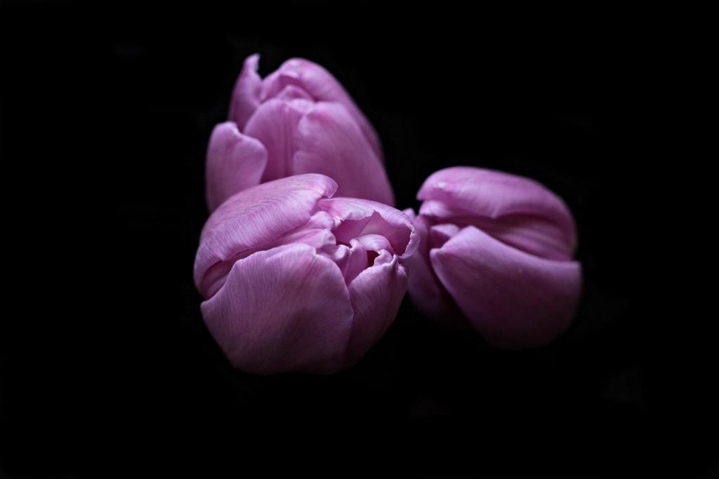 Fioletowe tulipany na czarnym tle